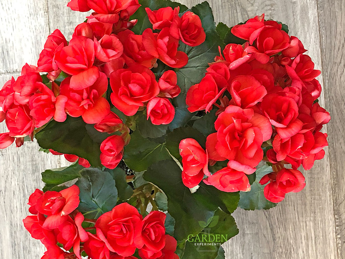 Red Rieger Begonia plant with lots of blooms