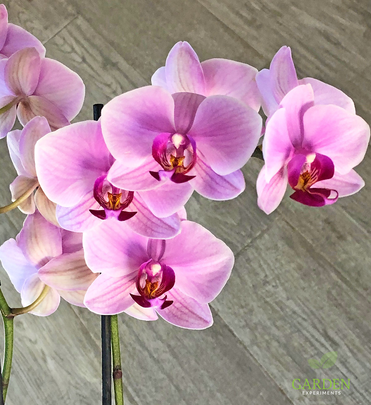 Pink and maroon Phalaenopsis orchid in bloom
