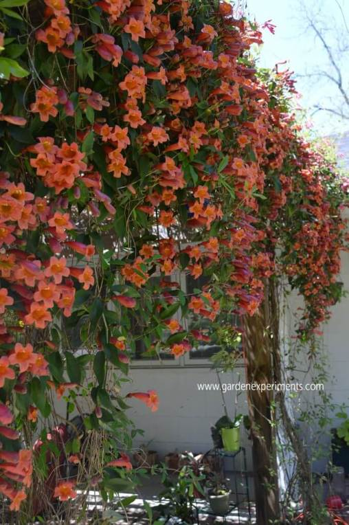 Crossvine on my arbor