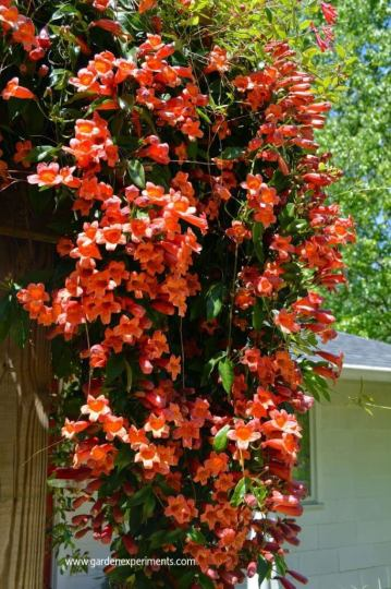 Crossvine growing on my arbor