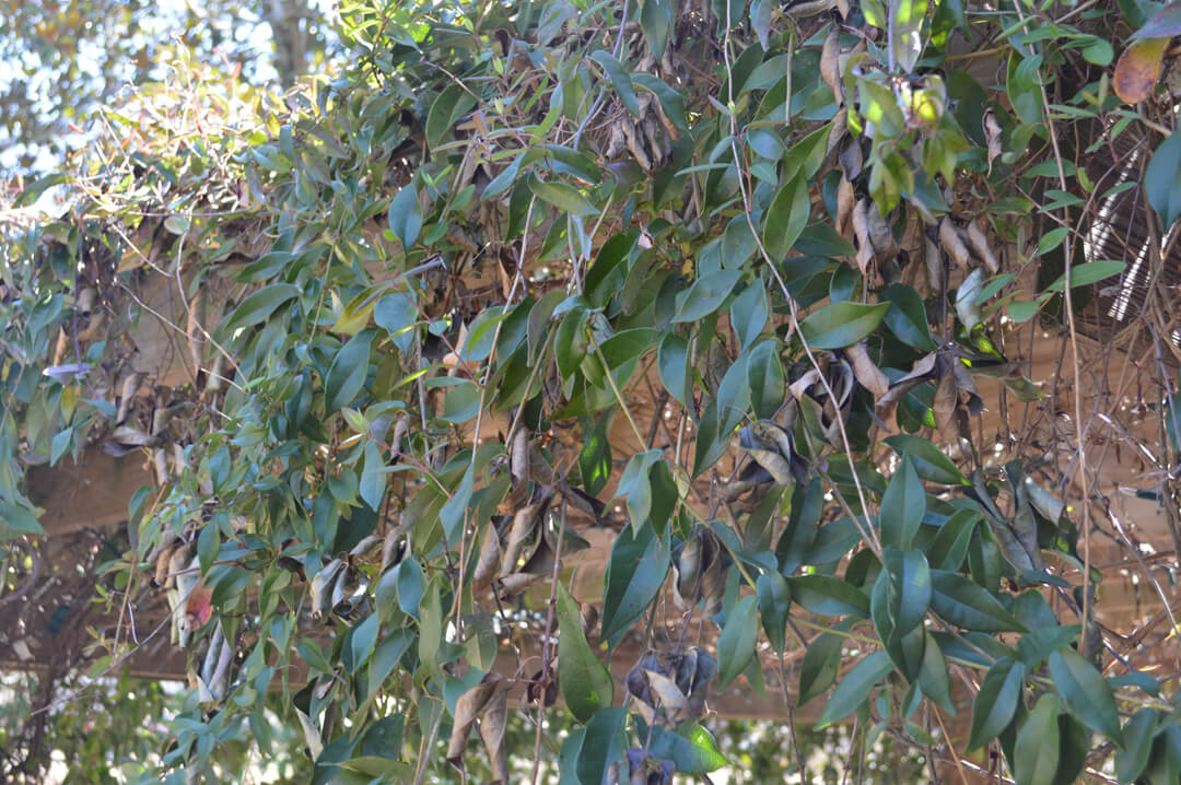 Plant Native Crossvine for Hummingbirds & Bees