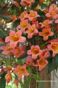 Cross Vine: Bignonia capreolata