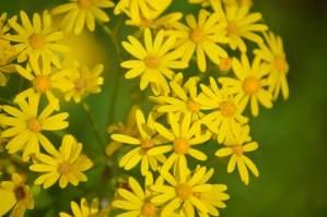 Butterweed – Mississippi Wildflower