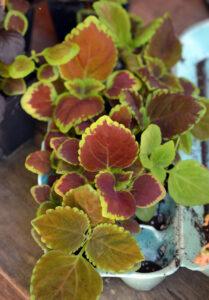 Coleus seedlings I grew in my garage