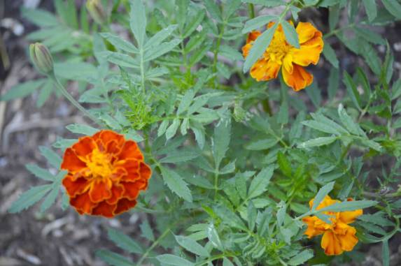 Marigolds grown from seeds