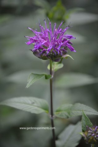 Purple bee balm