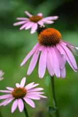 Echinacea or Purple coneflower
