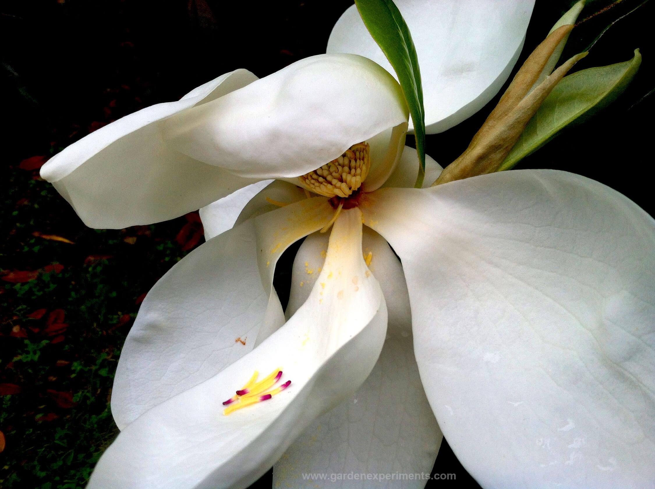 Southern magnolia magnolia grandiflora - Magnolia grandiflora ...
