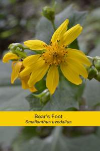 Bear's Foot or Hairy Leafcup