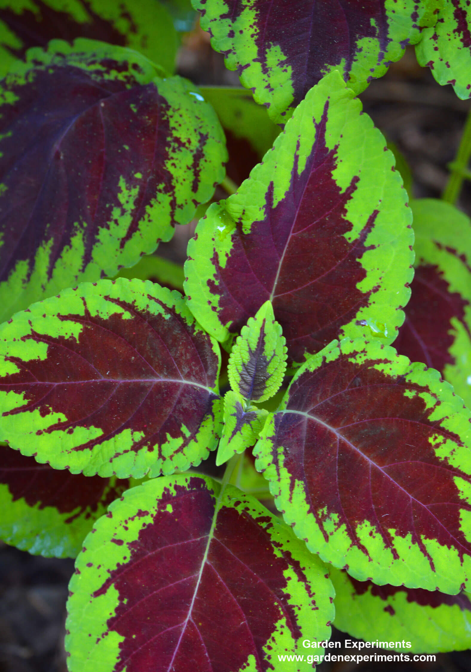 plants for shade gardens plants grown for flowers, leaf colors, Natural flower