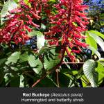 Red Buckeye Flowers For Butterflies, Bees, and Hummingbirds