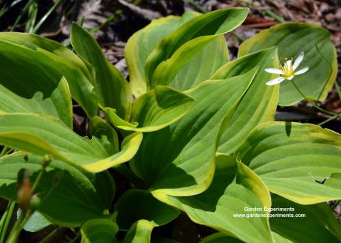 Hosta with yellow-green leaves