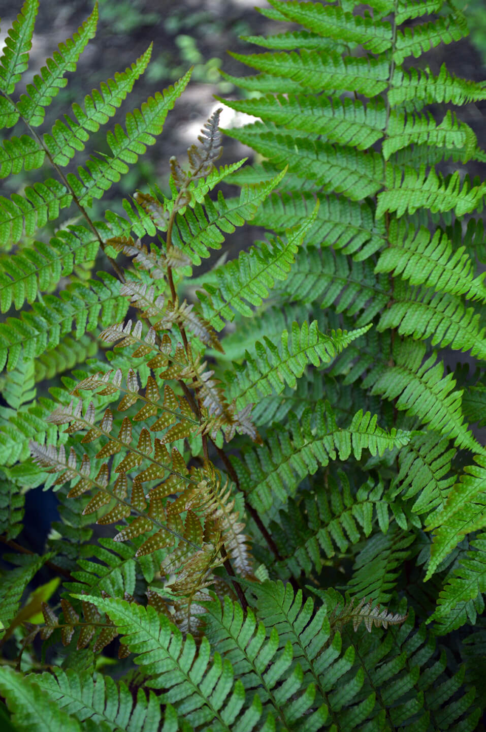 how to care for ferns in the winter