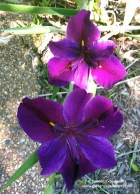 la-iris-mauve-web