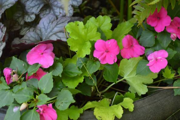 A lime leaf heuchera mixed with pink impatiens makes for a nice splash of color