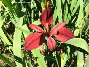 Louisiana Irises
