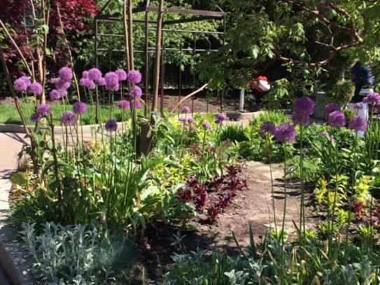 Purple allium in the children's garden