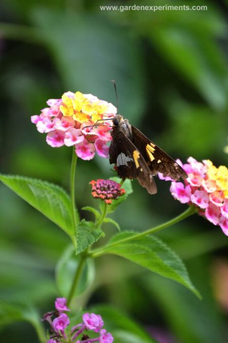 Lantana with skipper butterfly