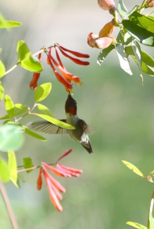 Hummingbird feeding on native coral honeysuckle