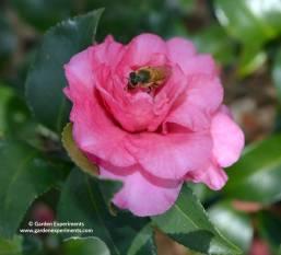 camellia-bee-web