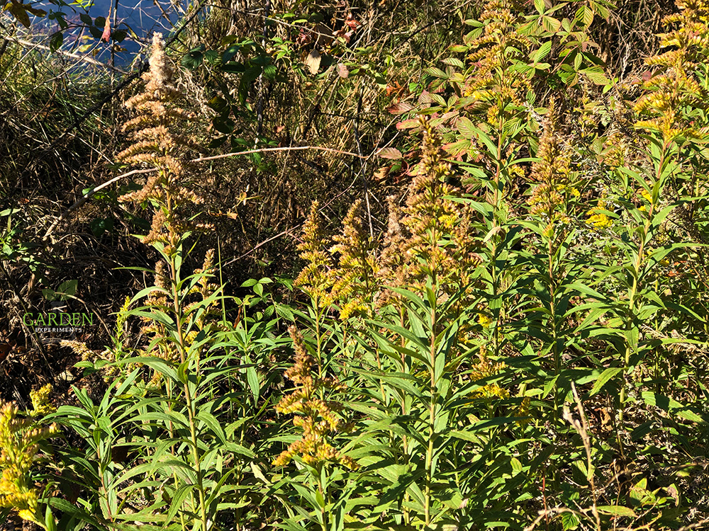 Thick patch of goldenrod along a road and pond