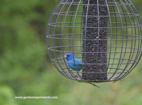 Indigo bunting at the globe feeder