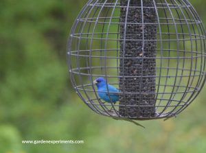 Indigo bunting at the globe feeder