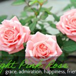 Three pale pink roses which mean grace, admiration, happiness, and friendship