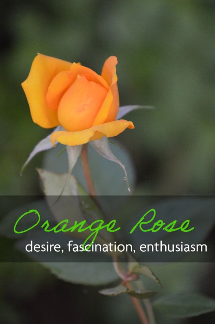 Orange rose which means desire, fascination, and enthusiasm