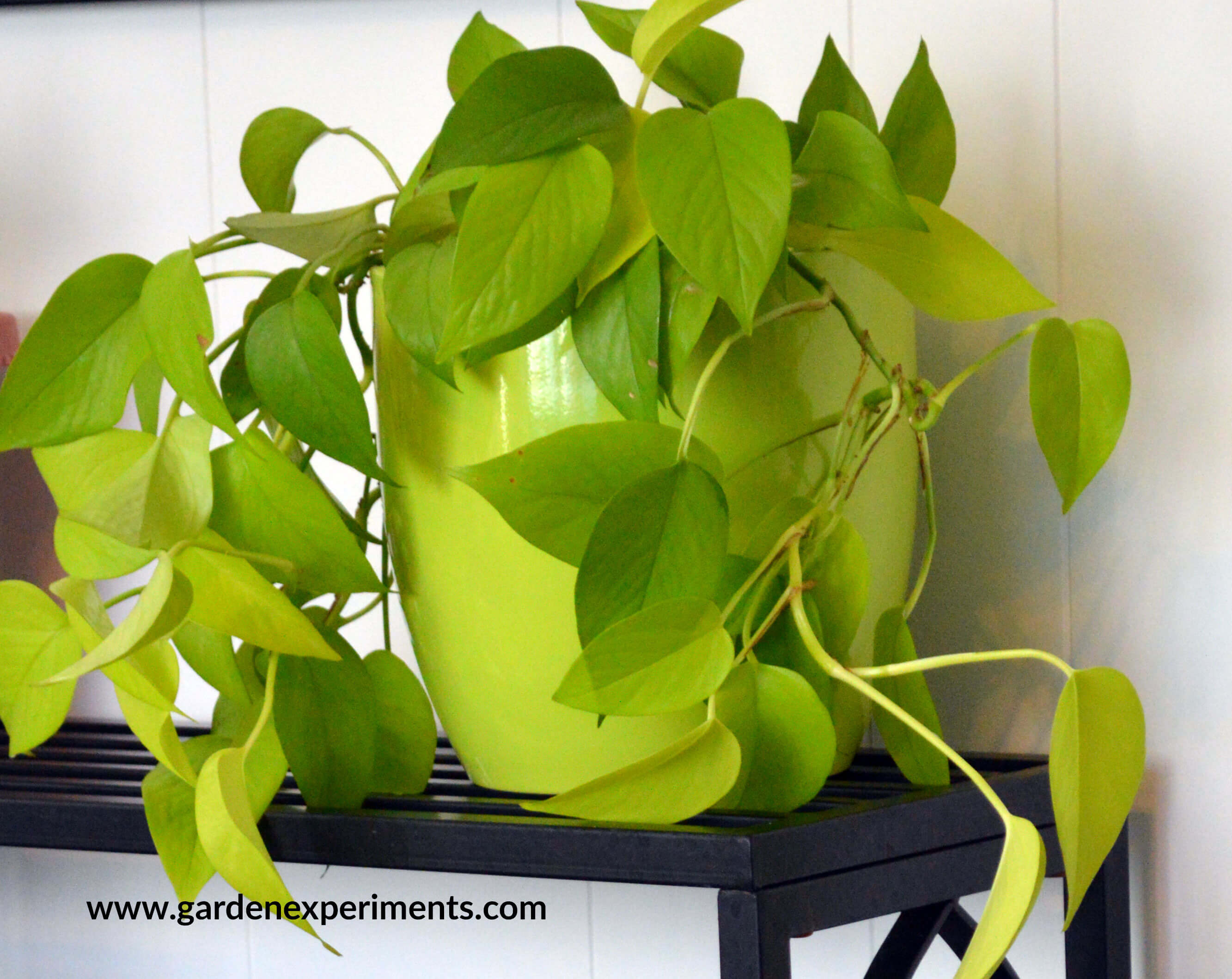 Lime Green Pothos