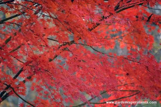 japanese-maple-2015