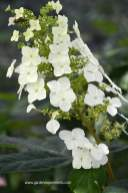 Oak leaf hydrangea bloom