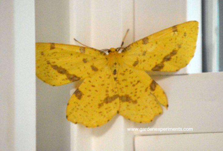 Xanthotype genus moth
