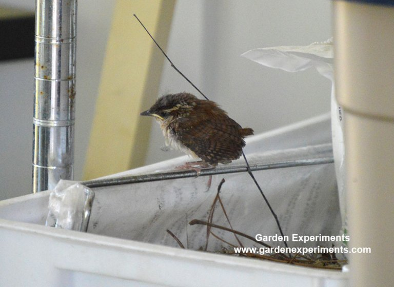 Jenny wren baby bird