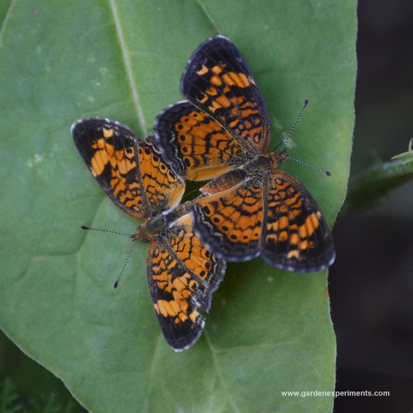 Pearl crescent butterflies mating in the butterfly garden