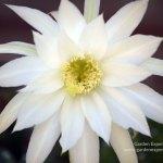Echinopsis subdenudata bloom