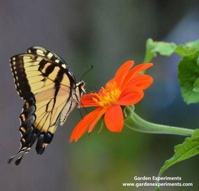 Yellow Swallowtail feeding on Tithonia