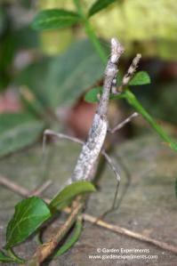 Praying Mantis: The Garden Carnivore