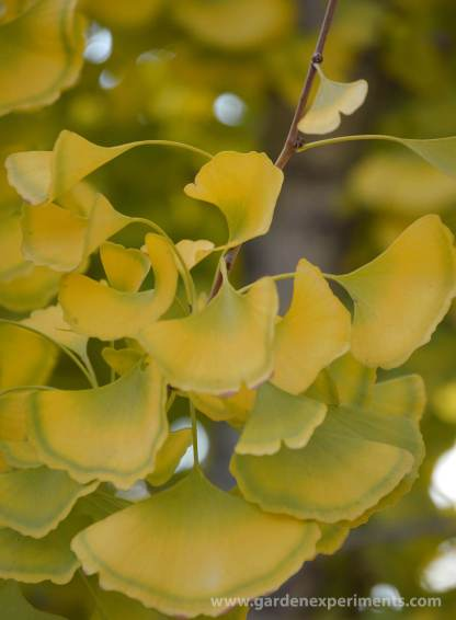 gingko-leaves