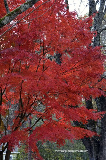 japanese-maple4