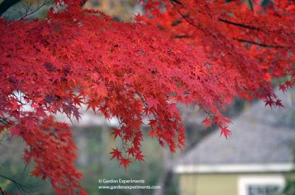 japanese-maple5