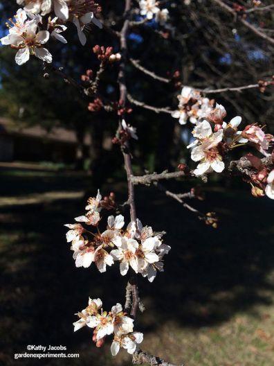 Flowering tree - not sure what it is