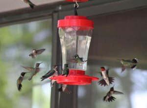 When To Put Out Your Hummingbird Feeders in Spring