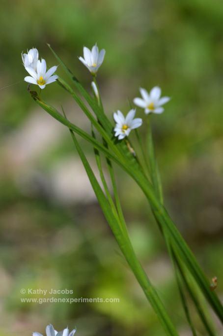 prairie-blue-eyed2