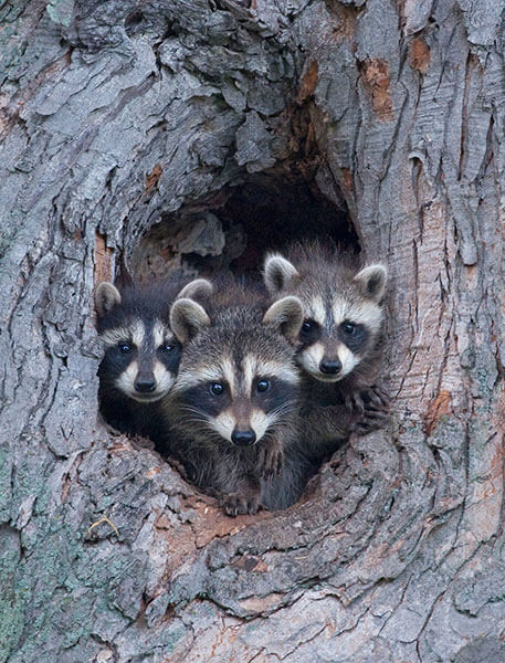 Raccoons in a cavity tree