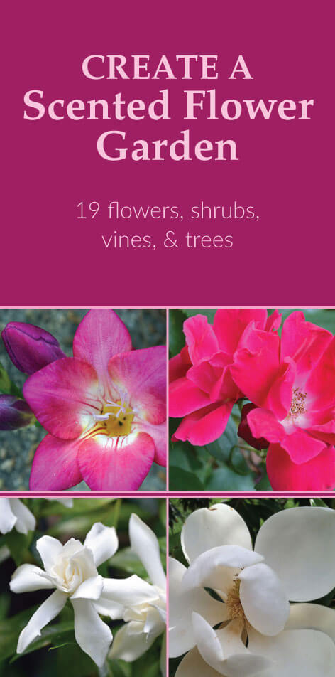 Create a Scented Garden: 19 flowering plants, vines, shrubs, and trees that have pleasant fragrances. Create a scented garden by incorporating them in your landscape.