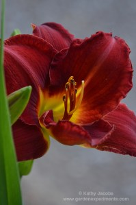The Showstopping Daylily