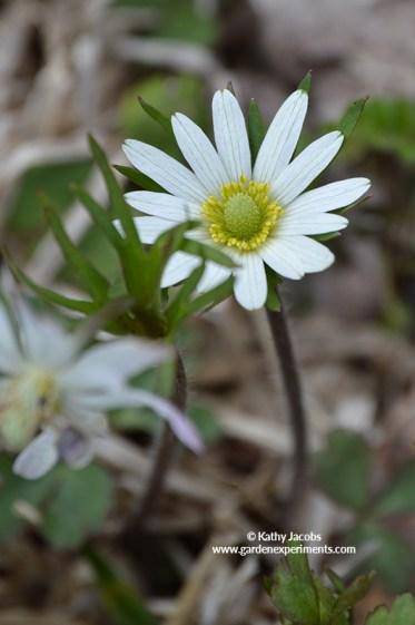 Carolina anemone