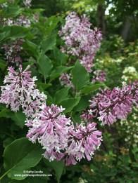 Japanese tree lilac (Syringa reticulata)