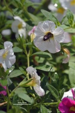 bumblebee3